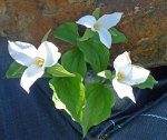 trillium-for-the-webSM